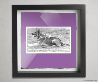 Koala Postcards Shadow Box 10-by-10 Inches 4