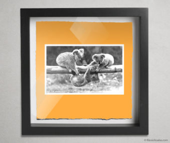 Koala Postcards Shadow Box 10-by-10 Inches 41